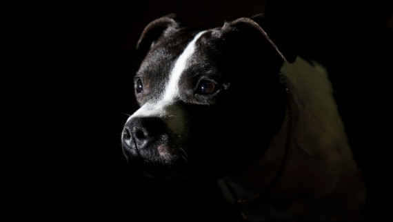 Representational image of a Staffordshire Bull Terrier