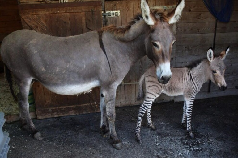 There are other reports of zonkeys around the world.