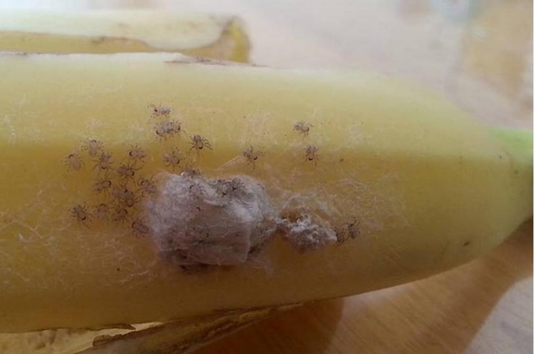 Brazilian Wandering Spiders Found On Banana