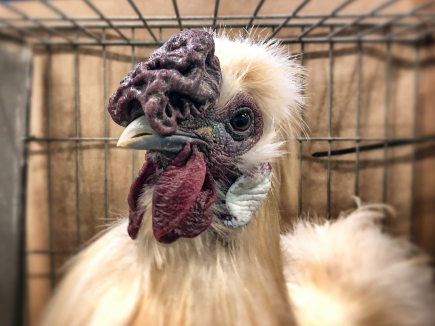 A Silkie cockerel chicken is displayed for judging is pictured on the opening day of the Royal Bath and West Show at the Royal Bath and West Showground near Shepton Mallet