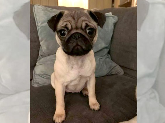 The pug pup was snatched away by a cougar who preyed on it as the little doggo was let out for a bit to pee before bed time.