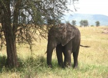 African elephants are endangered and could be gone in 12 years.
