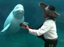 Watch Adorable Beluga Whale Dance To Mariachi Band's Music