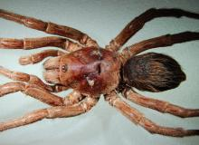 New-Tarantula-Species-Brazil-John-Lennon