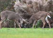 Two bucks are seen at Cape Henlopen State Park, in Lewes, Delaware