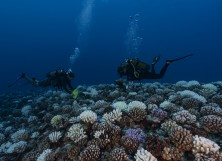 Divers searches the coral reefs of the Society Islands in French Polynesia.