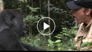 Watch Heartwarming Video Of Gorilla Meeting The Man Who Raised Him 5 Years Later
