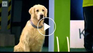 This Golden Retriever Loses Contest But Wins The Prize For 'Funniest Dog'